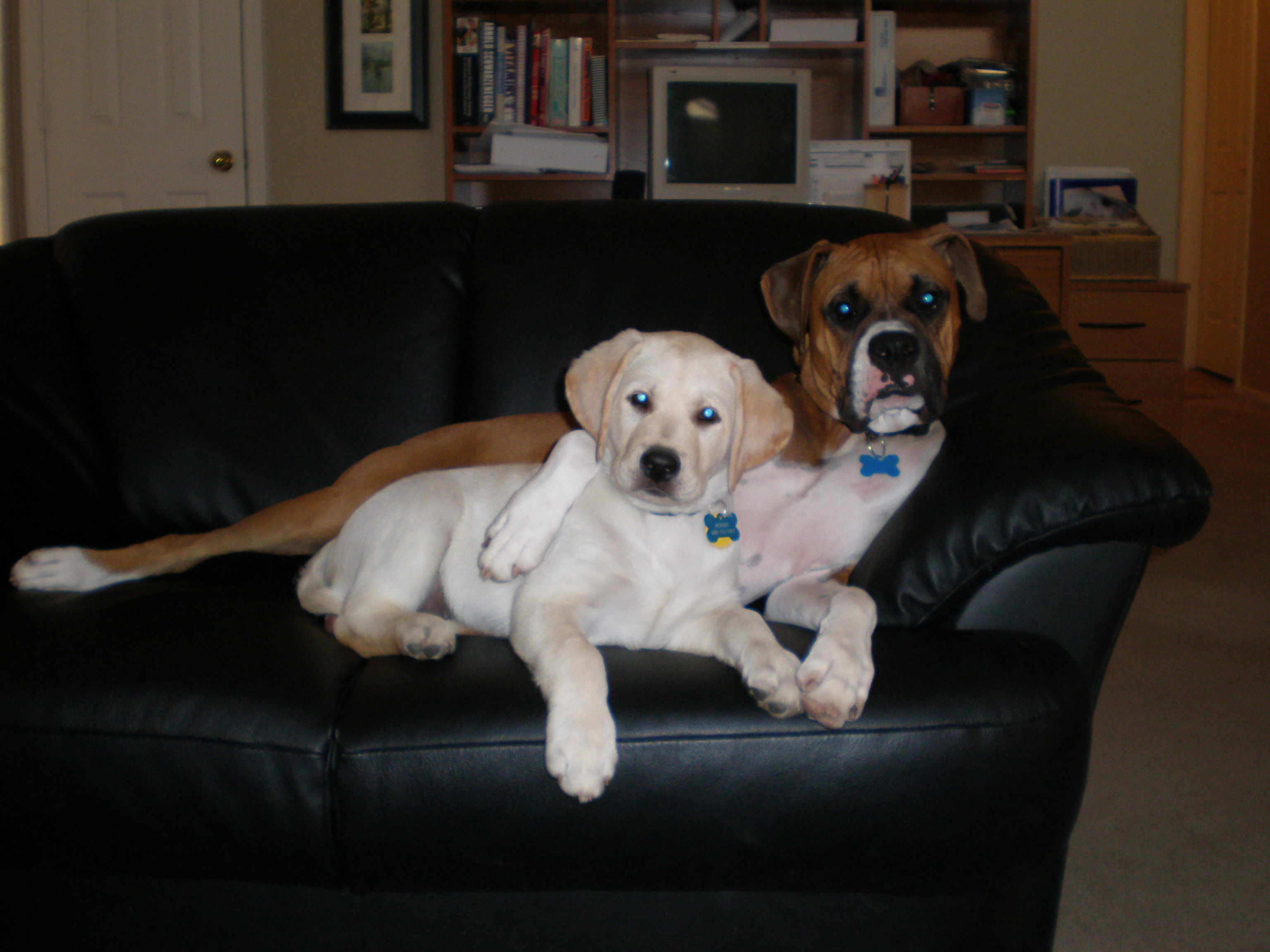 """RONIN"" (With his Boxer buddy Brodie) Lexi X Lobo Loved by Ryan & Kirsten and Family"