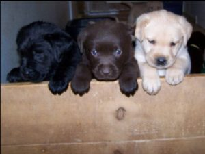 Lab pups in all colors